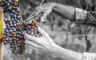 potatura vino sangiovese
