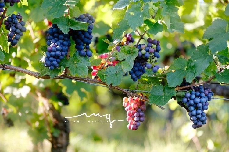 Viticoltura impianto viti